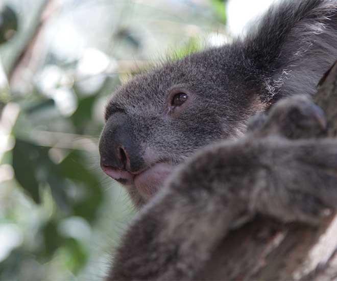 Söta koalor hälsar vi på när vi är på Kangaroo Island.