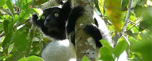 Madagaskars exotiska djurliv