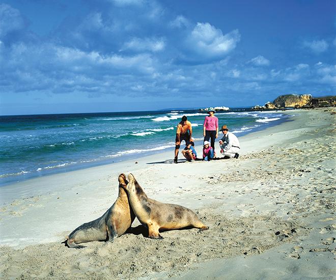 Australien, Sälarna i Seal Bay på Kangaroo Island