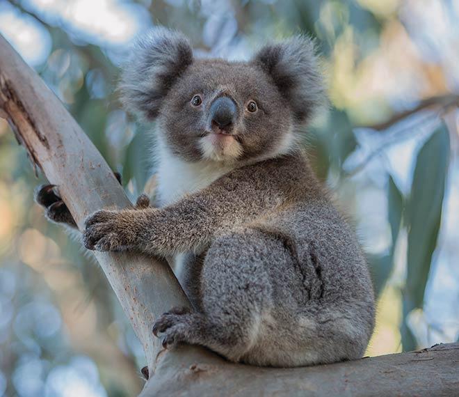 Söta koalor träffar vi på under besöket på Kangaroo Island.