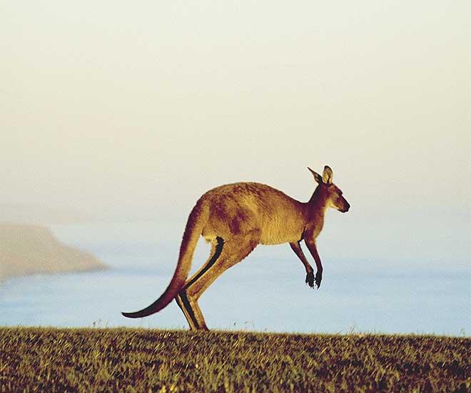Underbara Kangaroo Island, som en djurpark utan stängsel